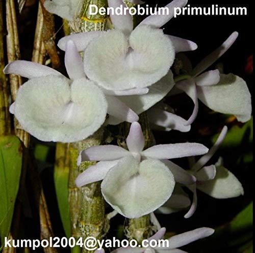 dendrobium kingianum care instructions