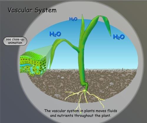 Vascular system in plants pdf