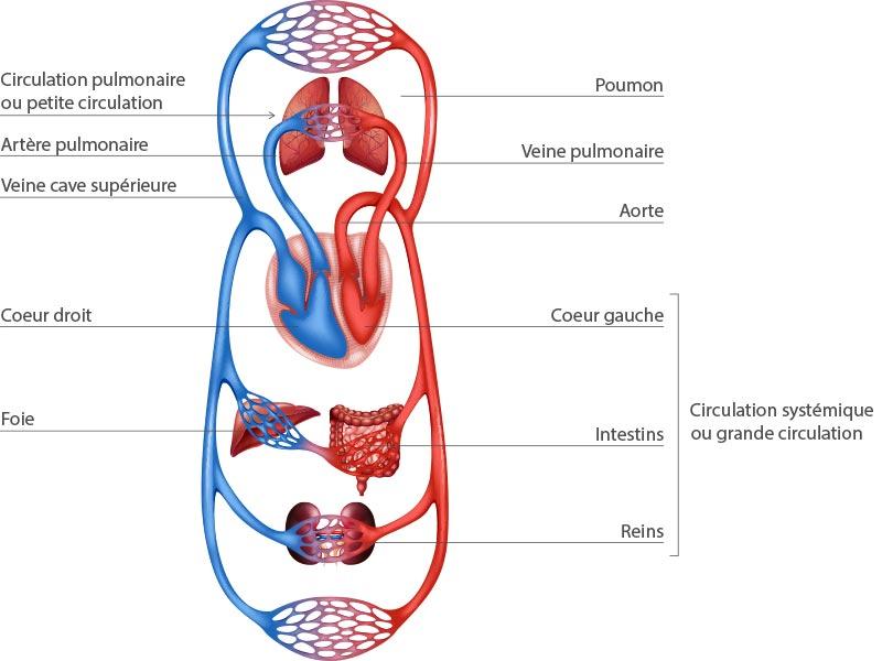 Anatomie du coeur humain pdf