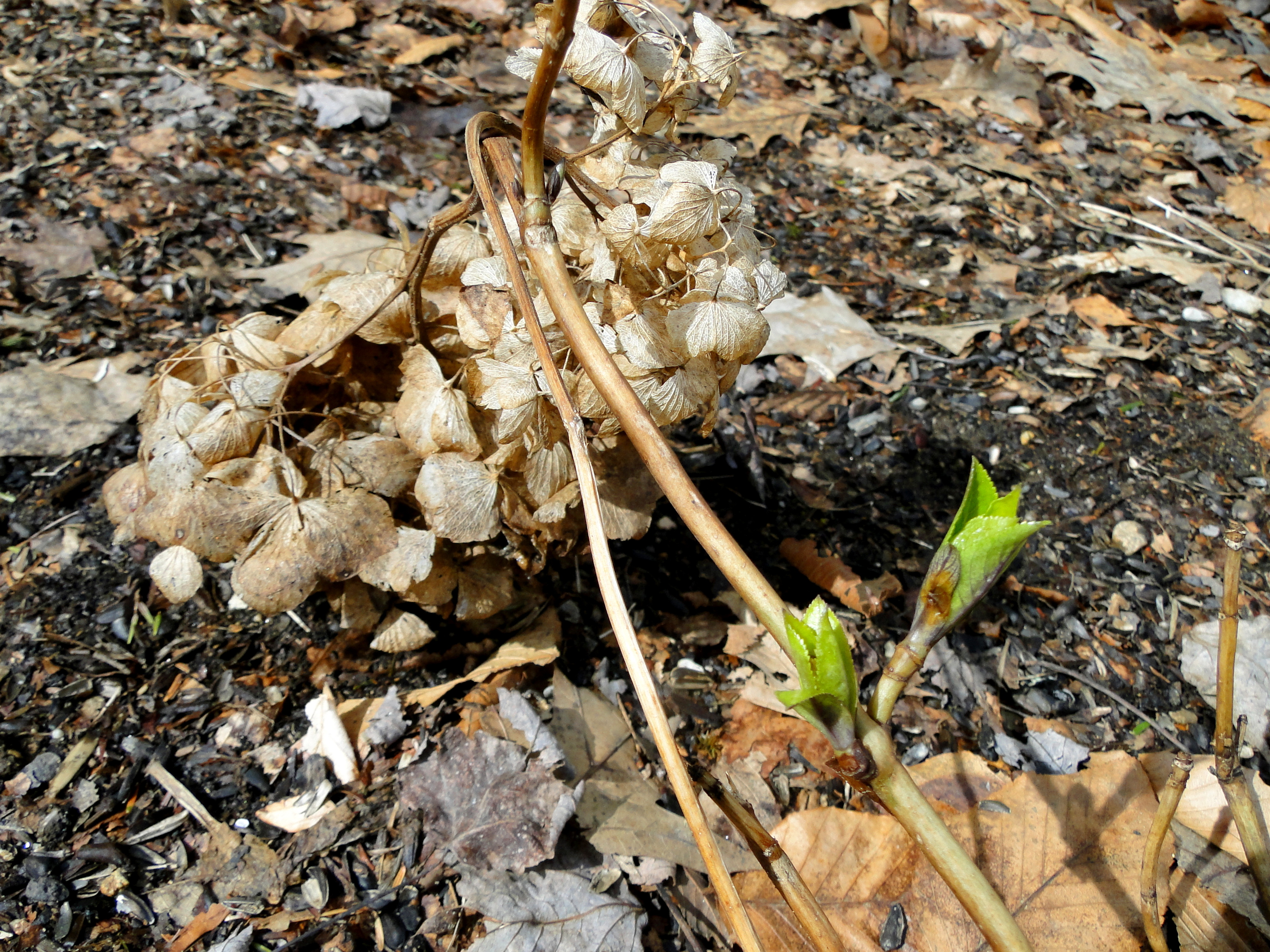 Worms on my hydrangeas how to clear this