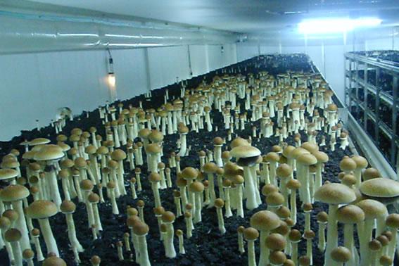 growing magic mushrooms indoors instructions